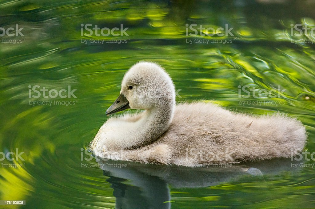 Baby swan floating on pond making ripples. stock photo