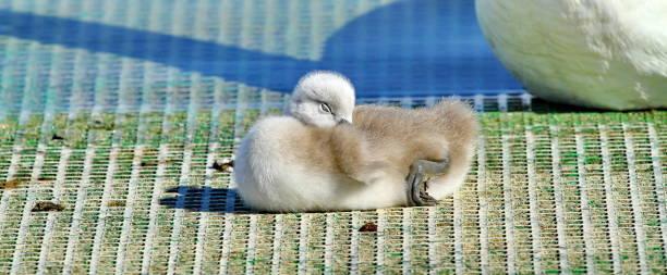 baby swan sleeping at the lake stock photo
