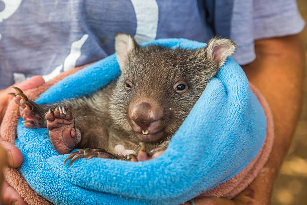 baby sweet wombat - wombat stock photos and pictures