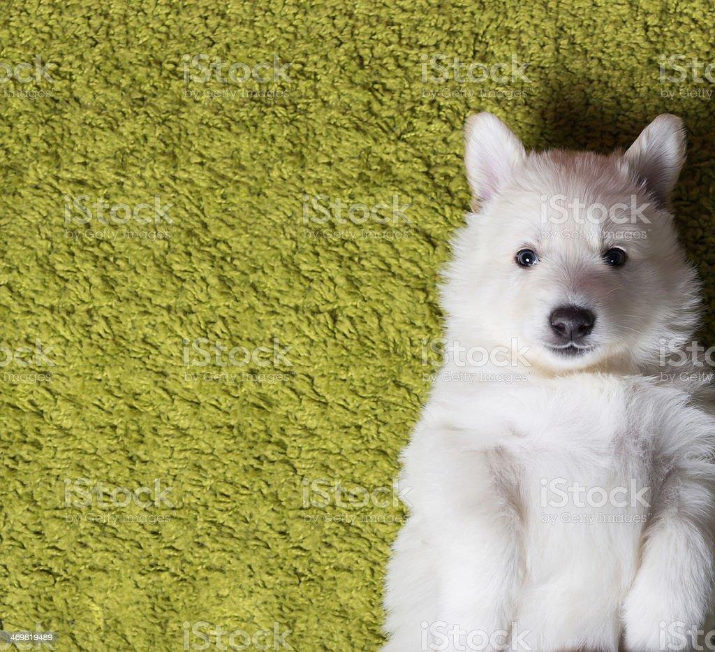 Baby Swiss shepherd puppy lying on carpet stock photo