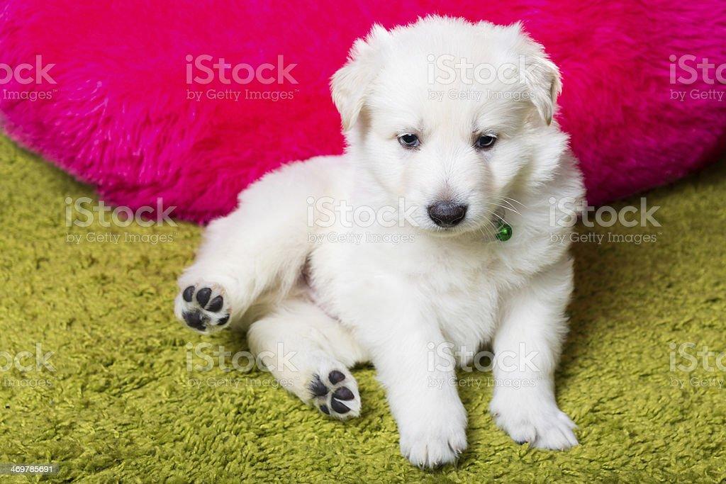Baby swiss shepherd sitting stock photo