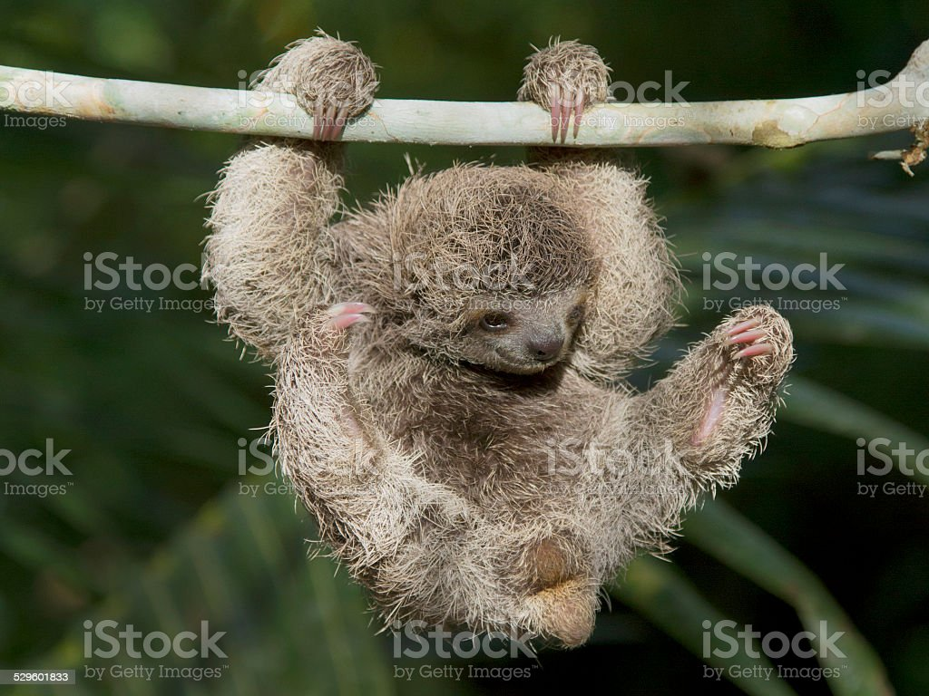 Baby Three Toed Sloth Playing stock photo