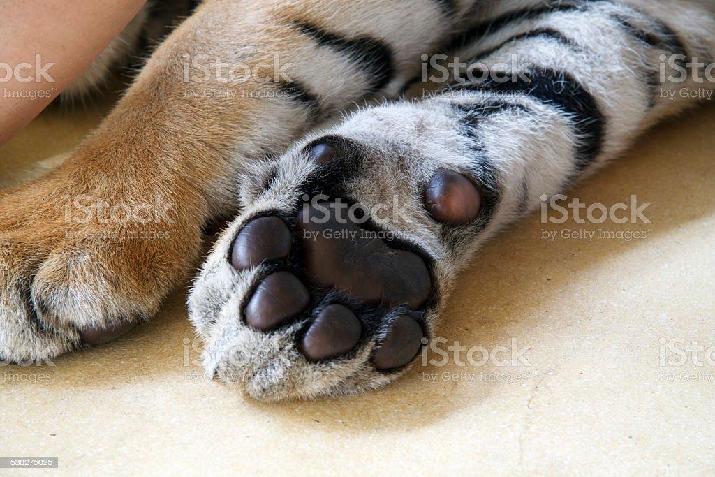 фото лапа тигра