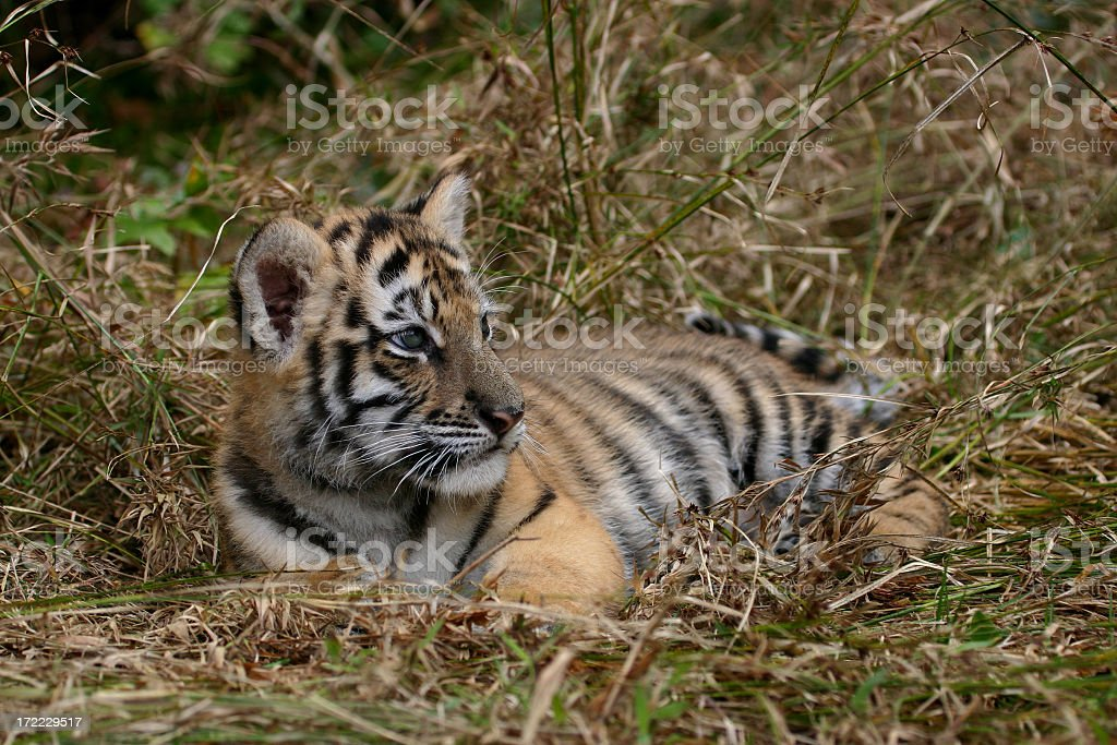 Baby Tiger royalty-free stock photo