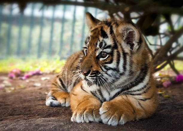 Baby Tiger stock photo
