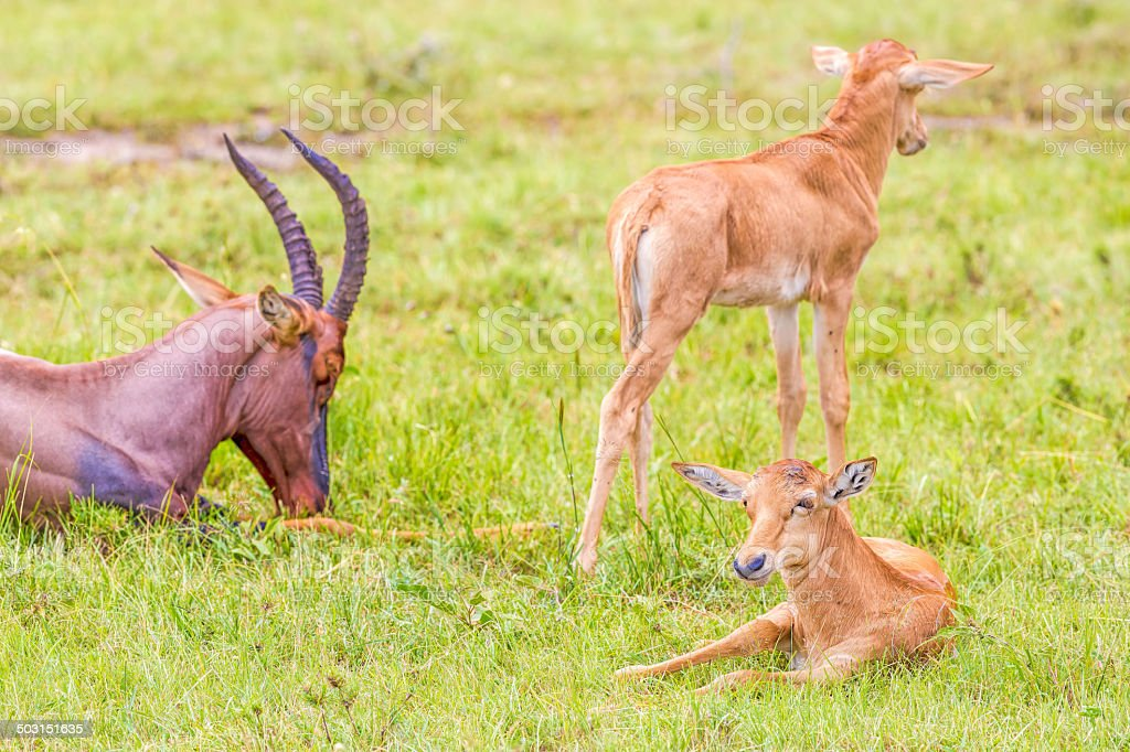 baby Topi - New Horn is coming under the skin royalty-free stock photo