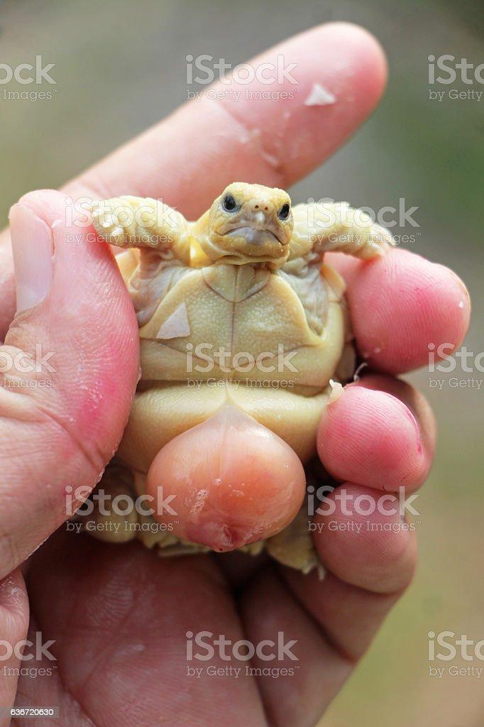 Baby Tortoise Hatching (Africa spurred tortoise) stock photo