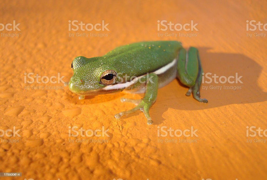 Baby Tree Frog royalty-free stock photo