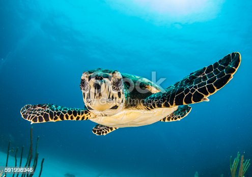 A baby turtle facing the camera in the Caribbean Sea, Cayman islands