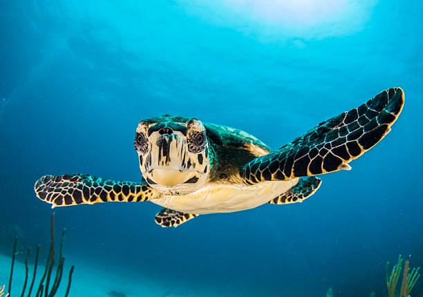 baby turtle face in caymans - tropikalna ryba zdjęcia i obrazy z banku zdjęć