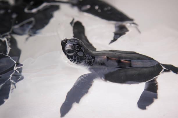 baby turtle drijvende - leatherback stockfoto's en -beelden