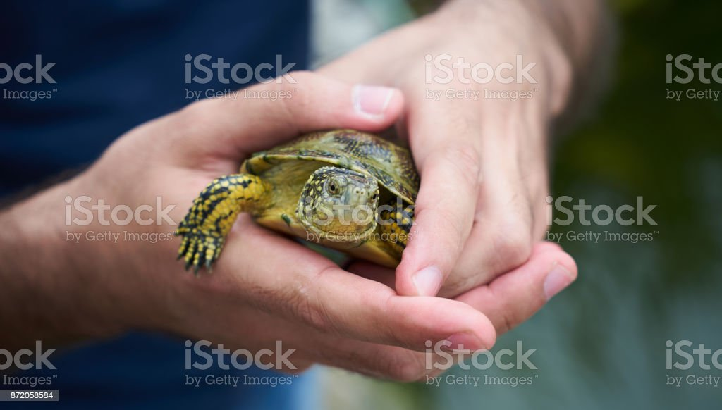 Baby turtle in a human hand, close-up stock photo