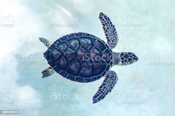 Baby turtle in a pool picture id665086020?b=1&k=6&m=665086020&s=612x612&h=vsne0mk5ph3qj0s7lg6zestp6 x0kuy6cuaznyet ly=