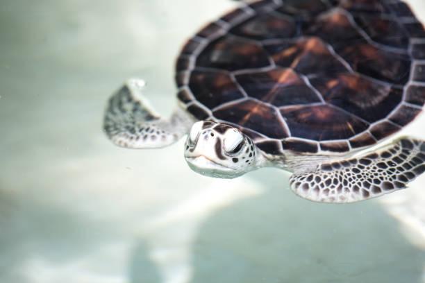baby schildkröte in einem pool. - babyschildkröten stock-fotos und bilder