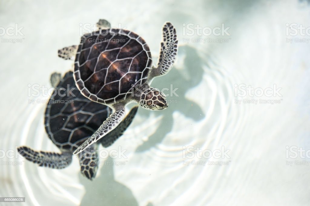 Baby turtle in a pool. stock photo