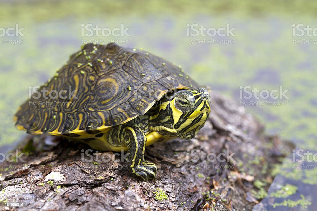 Baby Turtle on log royalty-free stock photo