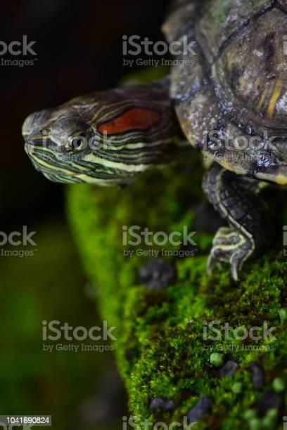 Baby turtle picture id1041690824?b=1&k=6&m=1041690824&s=612x612&h= gicl9dzu12l6ju5adjkdkakg yxqnyc3ndxcyabwii=