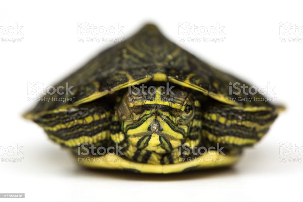 Baby Turtle royalty-free stock photo