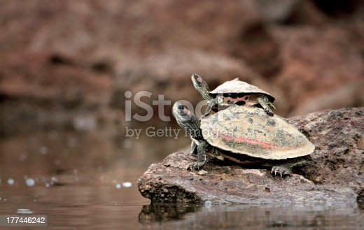 istock Baby Turtle Riding on Mother's Back 177446242