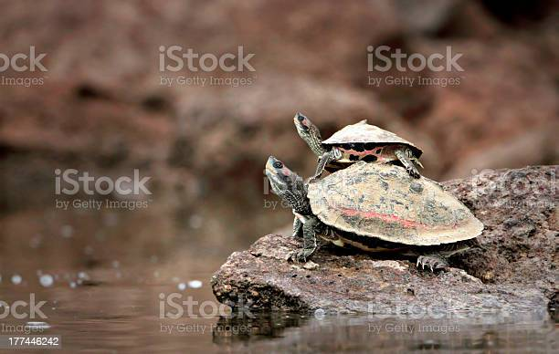 Baby turtle riding on mothers back picture id177446242?b=1&k=6&m=177446242&s=612x612&h=zvxccgp2r6n4iubrs9pcqa8rs61qljd33lcjyy7mvv8=