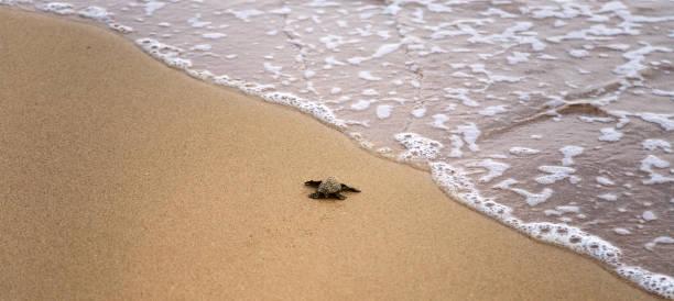 baby-schildkröten machen den weg zum meer - babyschildkröten stock-fotos und bilder