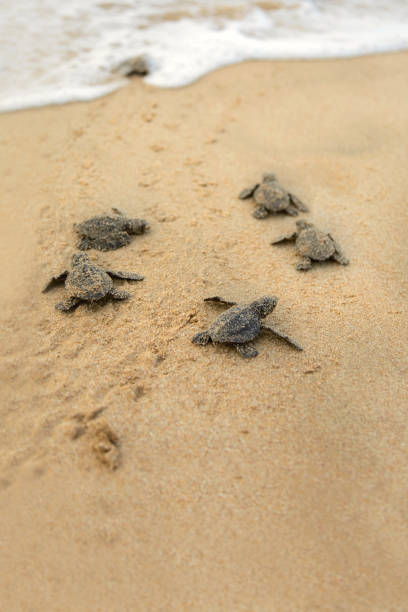 baby turtles making it's way to the ocean - tartaruga marina foto e immagini stock