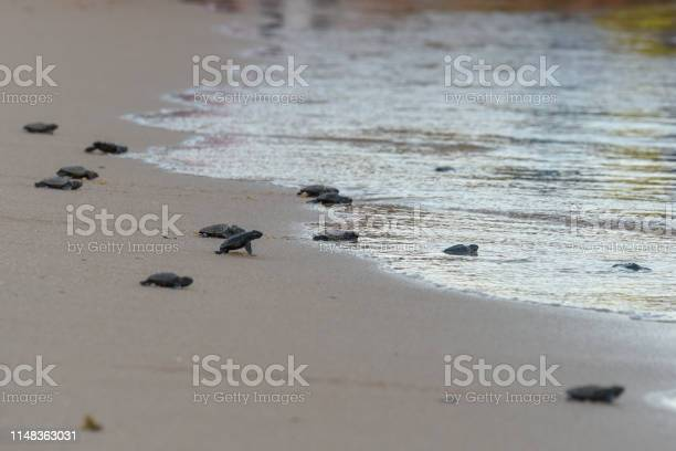 Baby turtles making its way to the ocean picture id1148363031?b=1&k=6&m=1148363031&s=612x612&h=h1enrhrk8olnznhezwiojlewplcfwhscu i1pskbdbi=