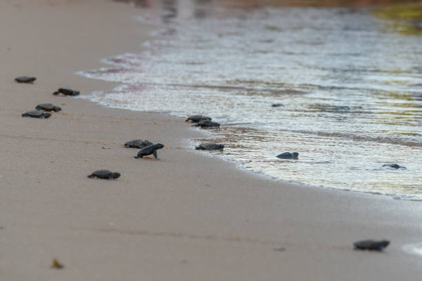 Baby turtles making it's way to the ocean stock photo