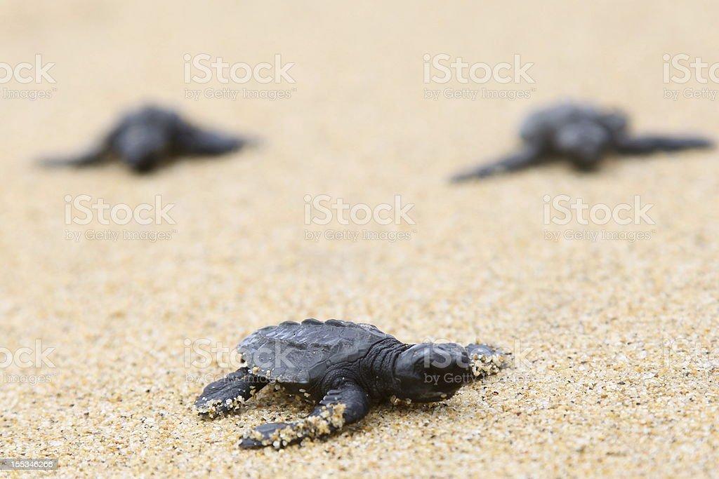 Baby turtles on beach royalty-free stock photo