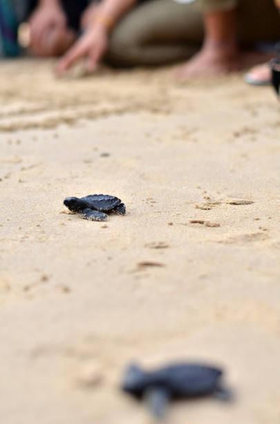 baby-schildkröten am strand - babyschildkröten stock-fotos und bilder