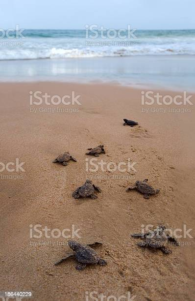 Baby turtles walking to the ocean for the first time picture id186440229?b=1&k=6&m=186440229&s=612x612&h=5q9kdzwtnz9axs9uzdanso0rnvgc sqgvx4m6nuzeog=