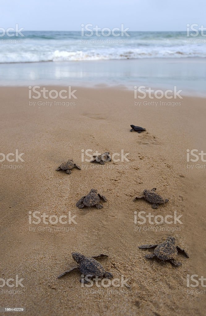 Baby turtles walking to the ocean for the first time stock photo