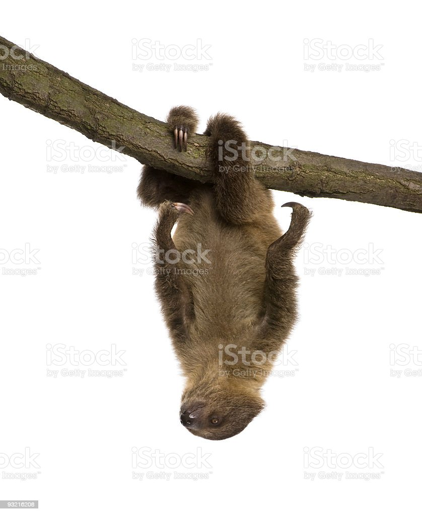 baby Two-toed sloth (4 months) - Choloepus didactylus stock photo