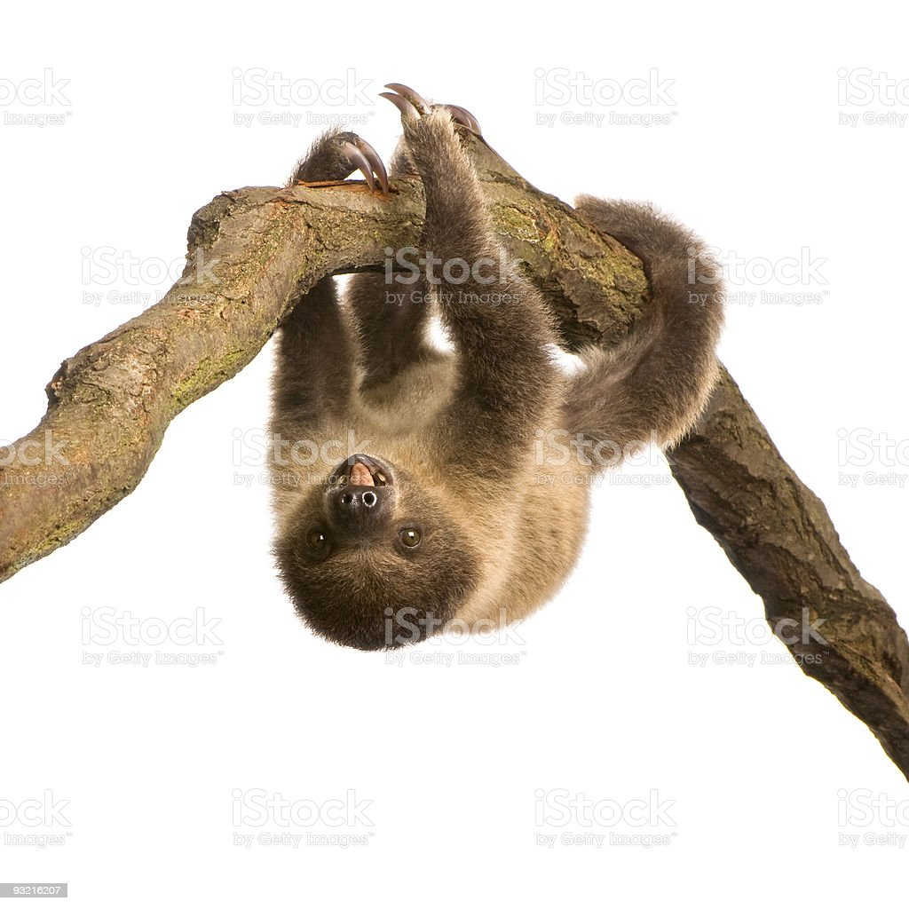 Baby two-toed sloth upside down on tree branch stock photo