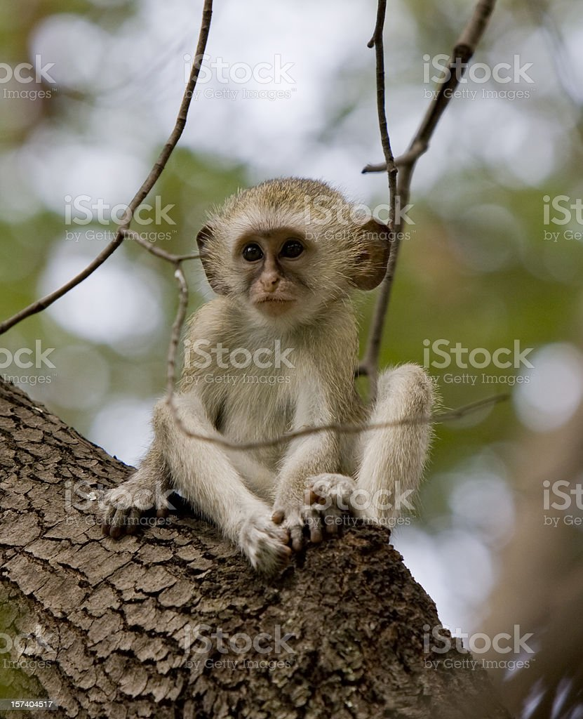 Baby Vervet Monkey royalty-free stock photo