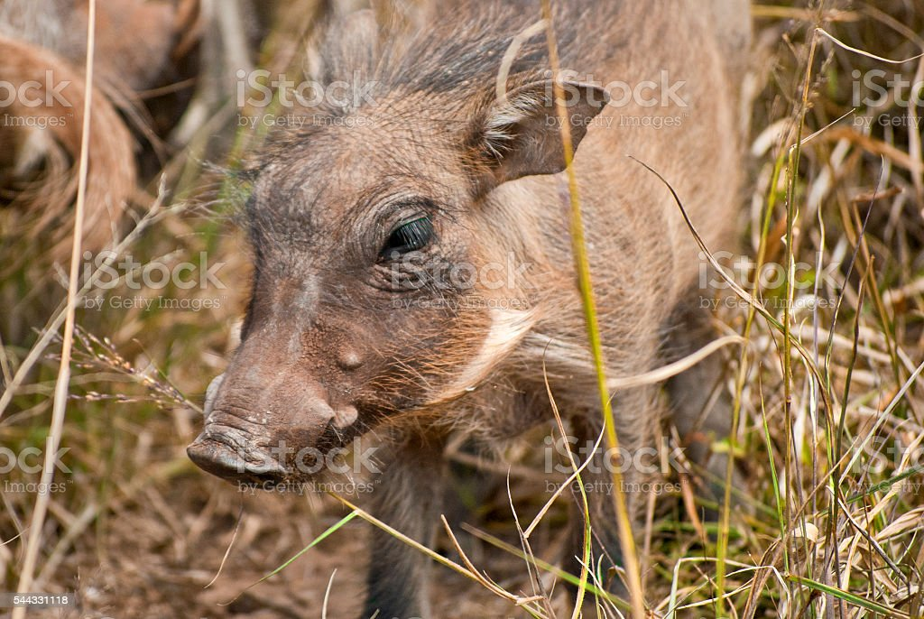 Baby warthog in Addo Elephant National Park, South Africa stock photo