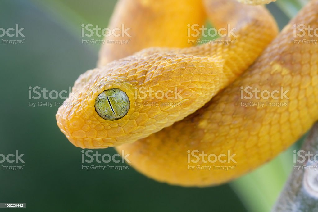 Baby West African bush Viper in Rainforest stock photo