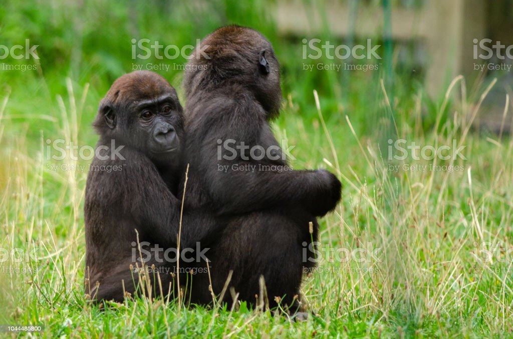 Baby western lowland gorilla stock photo