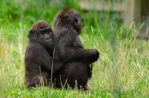 Baby Western Lowland Gorilla Stock Photo - Download Image Now - iStock