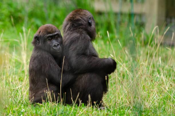 Baby western lowland gorilla stock photo