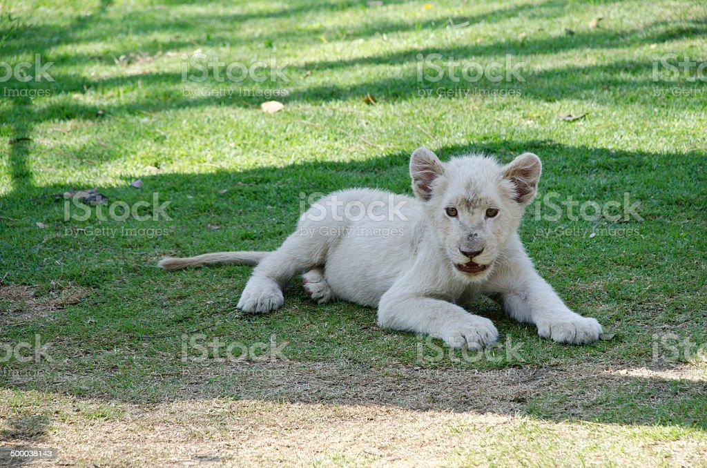 Baby white Lion stock photo