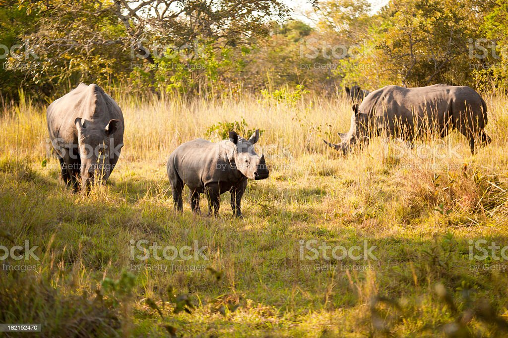 Baby White Rhino with mother and father stock photo