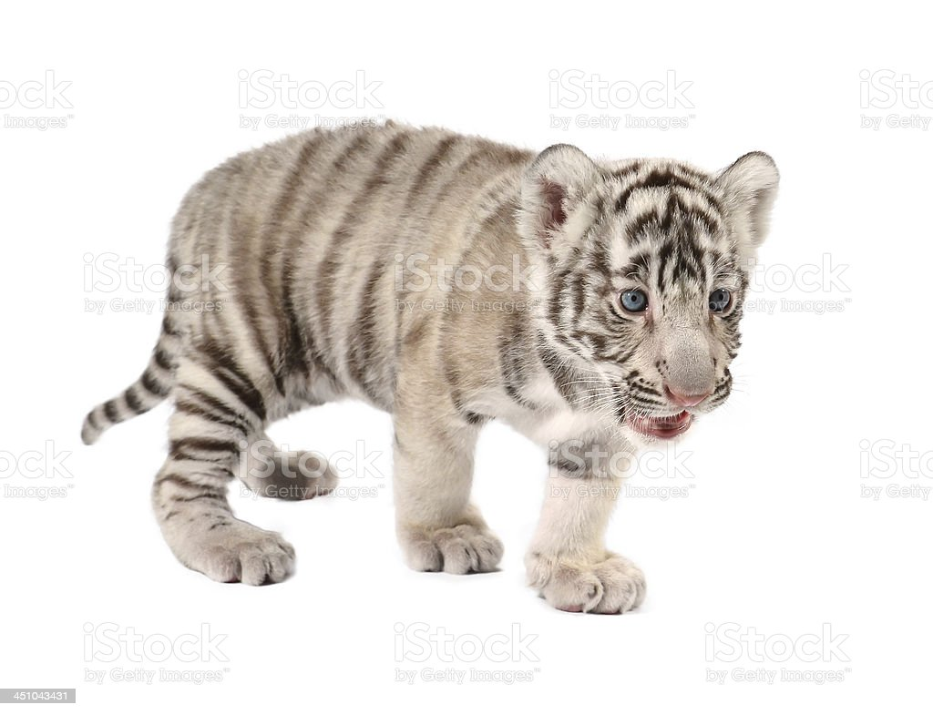 baby white tiger royalty-free stock photo