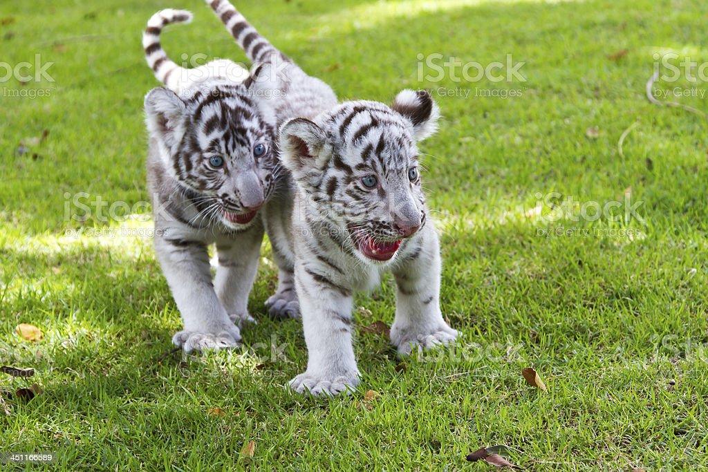 Baby White Tiger. royalty-free stock photo