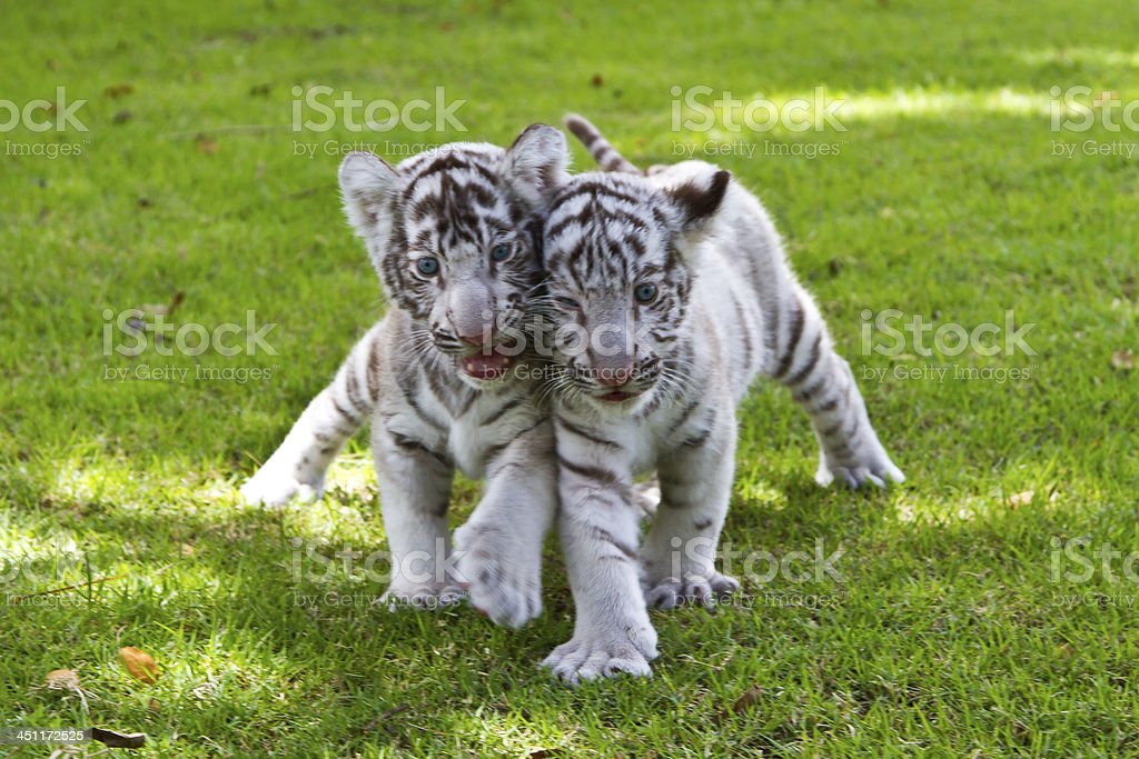 Baby White Tiger. royalty-free stock photo