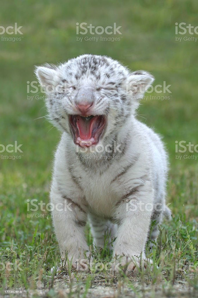 Baby White Tiger Roaring royalty-free stock photo