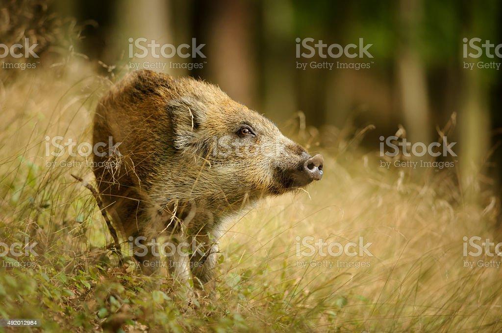 Baby wild boar in langen gelben Gras sniffing Seite – Foto