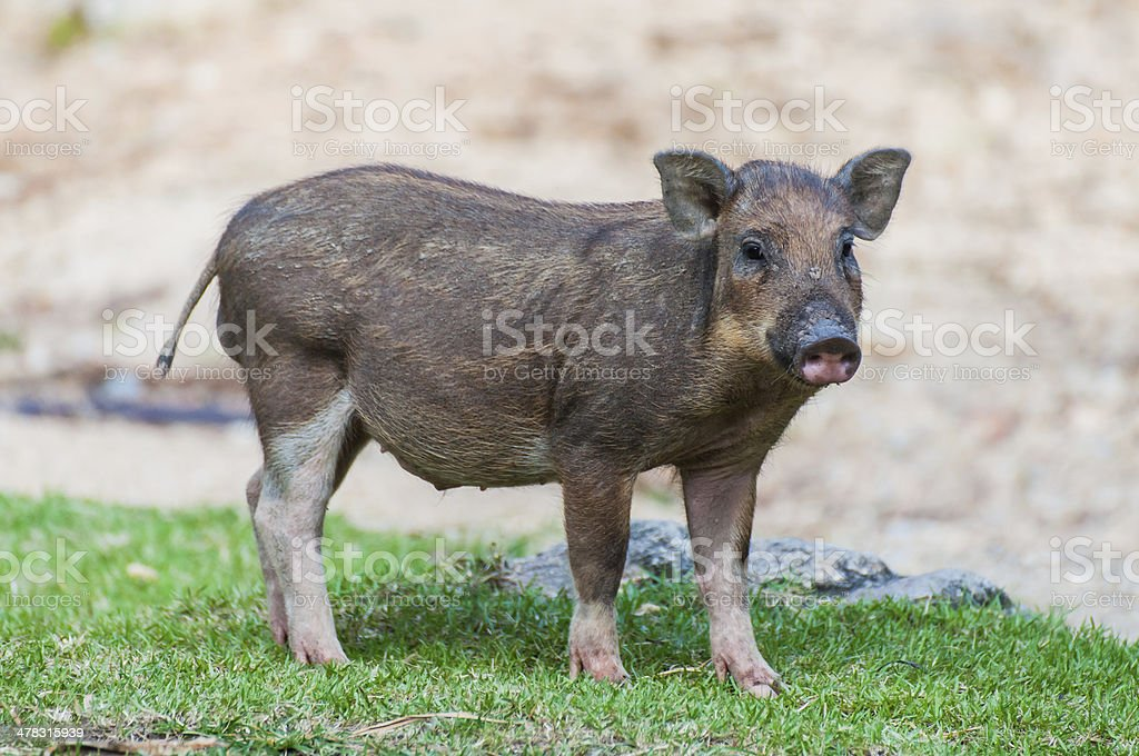 baby wild boar royalty-free stock photo