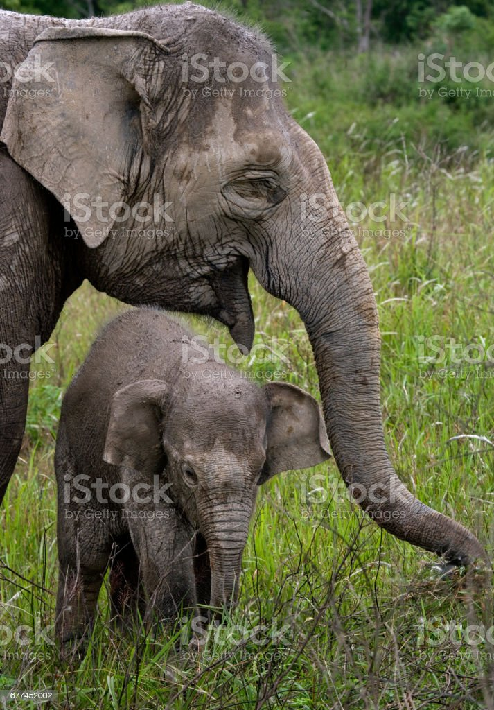 Baby with mum of the Asian elephant. stock photo