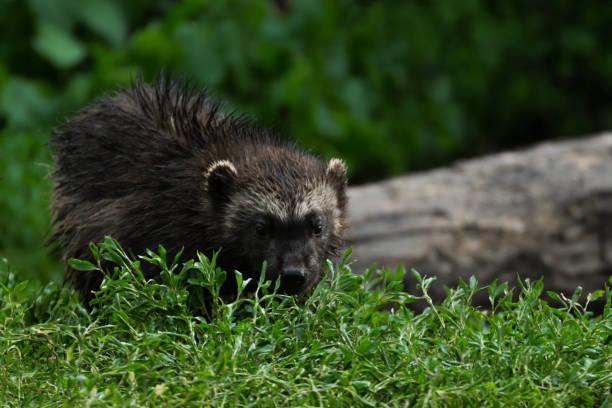 baby wolverine - rosomak zdjęcia i obrazy z banku zdjęć